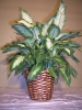 Dieffenbachia_in_Container__39_99.JPG