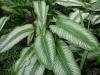dieffenbachia-amoena.jpg