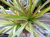 Dracaena-marginata-tricolor.jpg