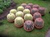 Echinocactus_och_Ferocactus.JPG
