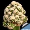 Echinocactus_setispinus_mostruosus_810.jpg