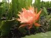 epiphyllum_detalle_de_las_hojas__(700_x_525).jpg