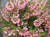 erica_x_darleyensis_mediterranean_pink_heath1.jpg