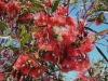 Eucalyptus_kingsmillii100_4830.jpg