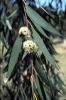 eucalyptus-lacrimans-FL-700.jpg