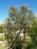 eucalyptusErythrocorys2.jpg