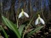 Galanthus_plicatus9.JPG