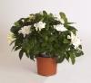 gardenia_13cm_zonder_pot_groot.jpg