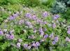 geranium.jpg