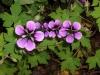 geraniumAnnFolkard.jpg