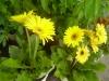 Gerbera_jamesonii_cv__flaviflora.jpg