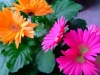 pink-orange-gerbera-daisies-top.jpg