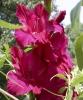 gladiolus.jpg