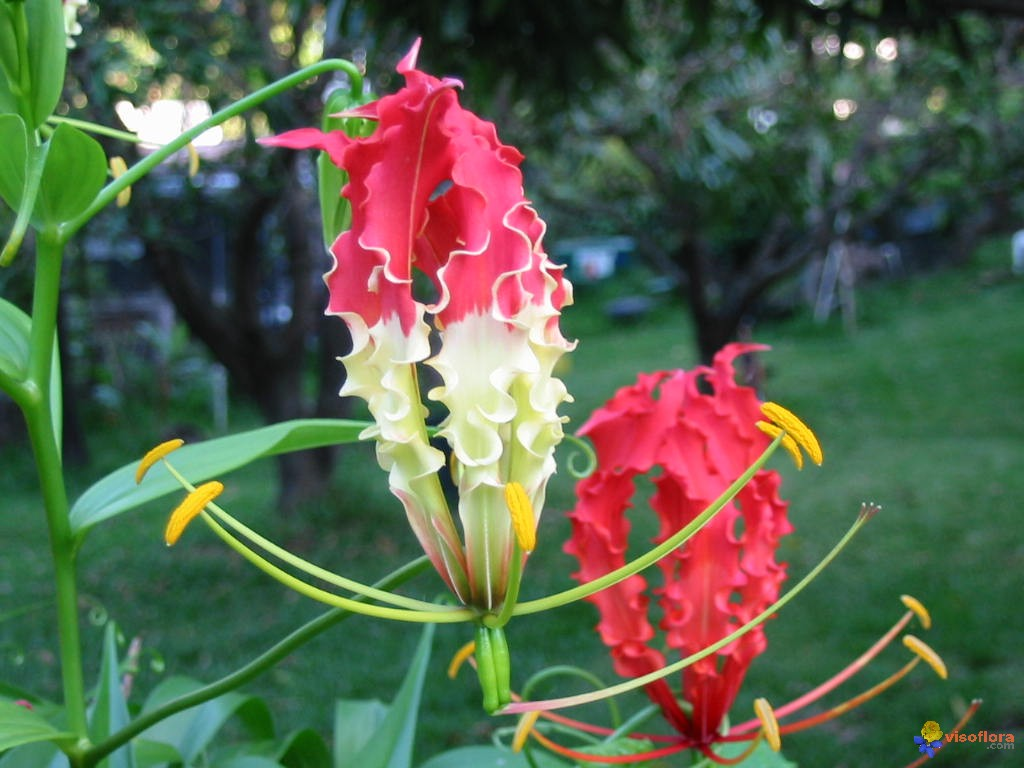 Gloriosa Lilies And Asiatic Lilies Wedding Flowers How To