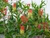 gloriosa-superba-visoflora-2820.jpg