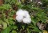gossypium_herbaceum3.jpg