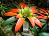 Top rated - Гуцмания - Guzmania Guzmania_sanguinea1.JPG