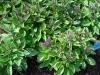Heliotropium_arborescens_0104.jpg