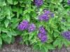 Heliotropium_arborescens_0404.jpg