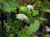 Heliotropium_indicum.jpg