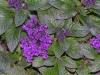 Heliotropium_peruvianum.jpg