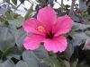 Pink_Hibiscus.jpg