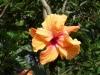 apricot_color_hibiscus-dsc00241.jpg