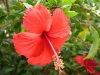 Most viewed hibiscus.jpg