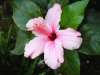 hibiscus_Goree_preview.JPG