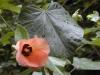 hibiscus_tiliaceus9.jpg