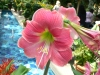 Most viewed Amaryllis_hippeastrum_-_Candy_floss.jpg