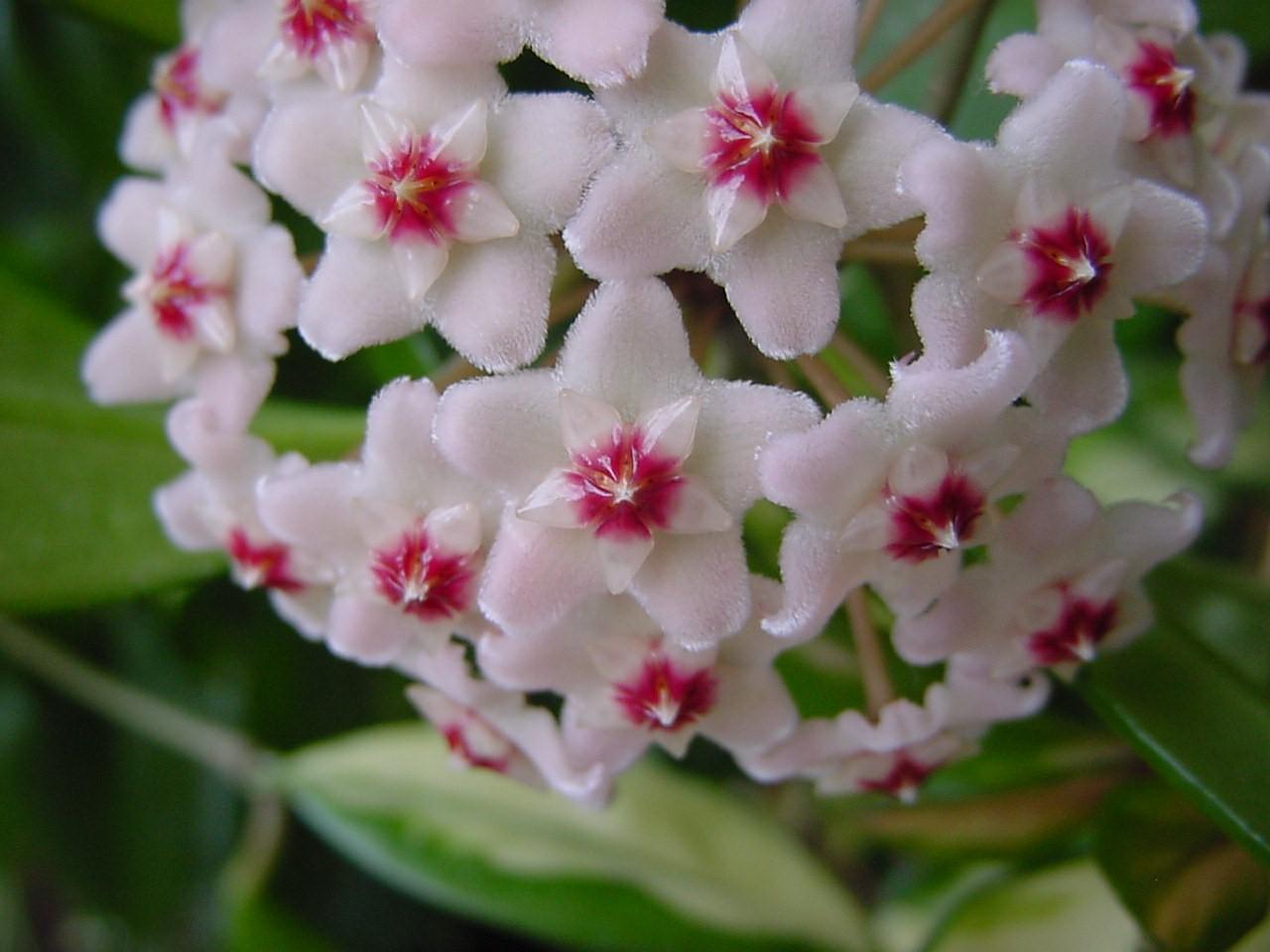 Комнатные цветы хойя фото