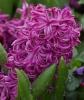 Garden_Hyacinth_Hyacinthus_orientalis__Purple_Voice__Flower_1644px.JPG