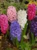 hyacint-hyacinthus.jpg