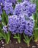 hyacinthus3.jpg
