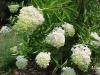 Hydrangea_paniculata__Grandiflora_.jpg