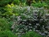 hydrangea_robusta.jpg