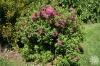 Калмия - Kalmia kalmia_angustifolia.jpg