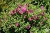 Калмия - Kalmia kalmia_angustifolia1.jpg