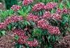 Калмия - Kalmia kalmia_angustifolia10.jpg