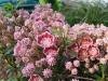 Калмия - Kalmia kalmia_angustifolia12.jpg