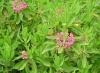 Калмия - Kalmia kalmia_angustifolia2.jpg