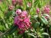 Калмия - Kalmia kalmia_angustifolia4.jpg