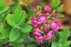 Калмия - Kalmia kalmia_angustifolia6.jpg