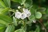 Калмия - Kalmia kalmia_angustifolia7.jpg