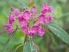 Калмия - Kalmia kalmia_angustifolia8.jpg