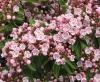 Калмия - Kalmia kalmia_angustifolia9.jpg