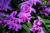 Last additions Laelia_pumila_3.jpg