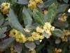 Laurus_nobilis_flowers.jpg