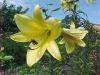 Most viewed Lilium_Golden_Splendor_.jpg